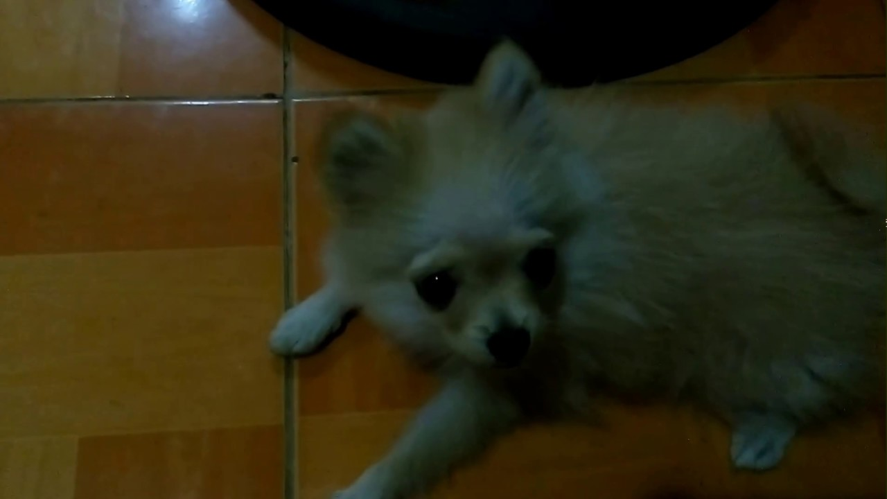 pomeranian puppy uglies puppy uglies summer the 4 month old pomeranian youtube 2768