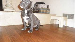 my blue bully gotti from my last liter. he is 14weeks old now. this...