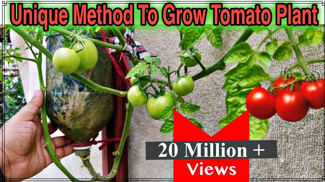 Best Method To Grow Tomato Plant In Plastic Hanging Bottle Ll