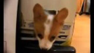 corgi コーギーの子犬です。