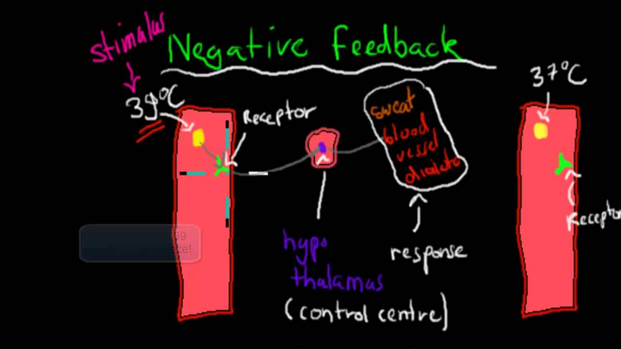 Positive and negative feedback mechanism (HSC biology) - YouTube