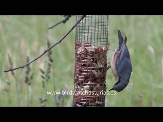 Trepador azul/Eurasian nuthatch