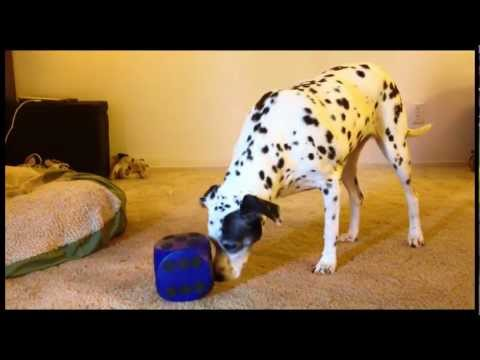 Dalmatian with buster cube