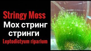 Stringy moss.Мох Стринг. Стринги.Leptodictyum riparium.