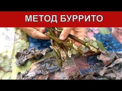 Тополь - род быстрорастущих деревьев семейства Ивовые