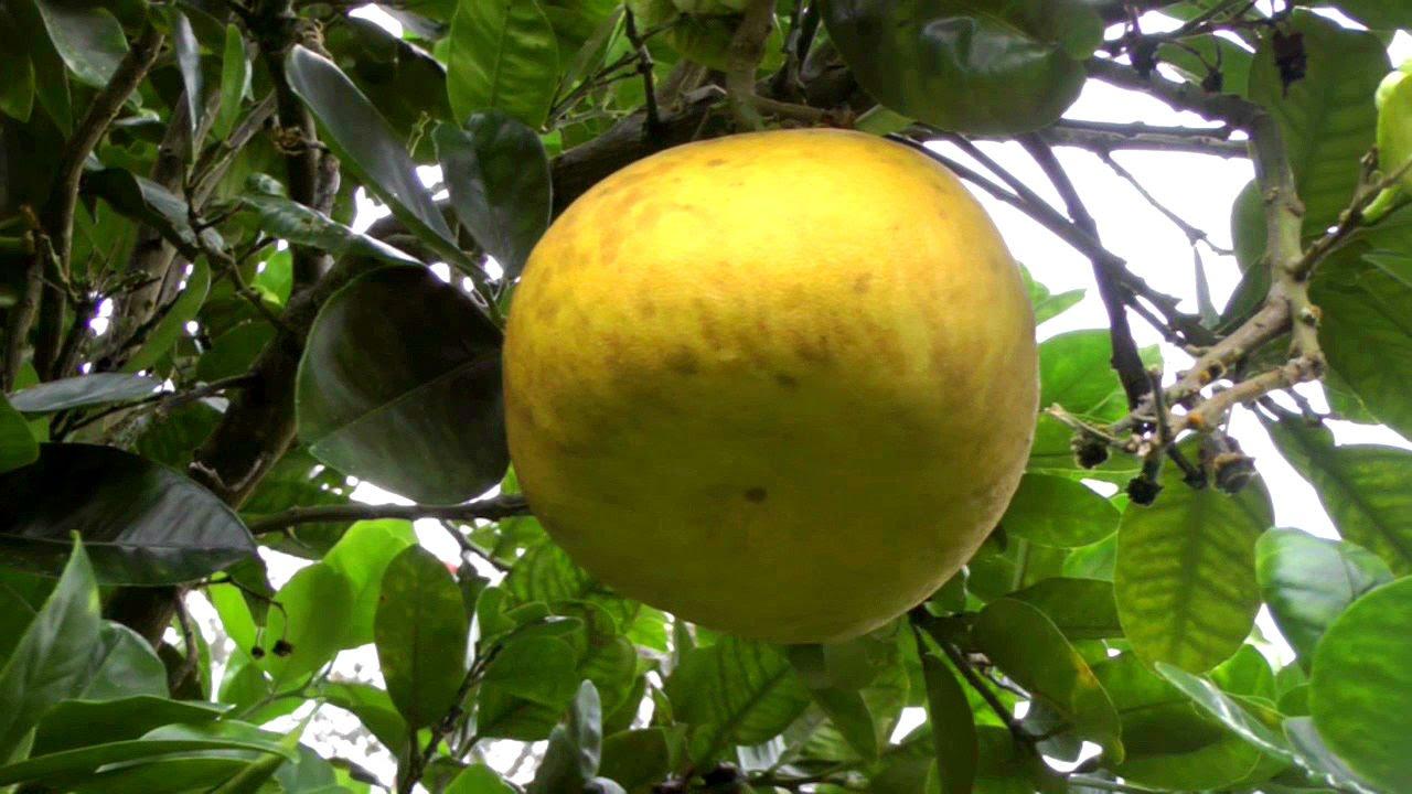 Grapefruit Tree Flower