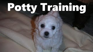 How To Potty Train A Bolognese Puppy - Bolognese House Training Tips - Bolognese Puppies