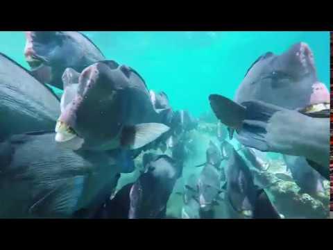 Bumphead Parrot Fish - Sipadan Island