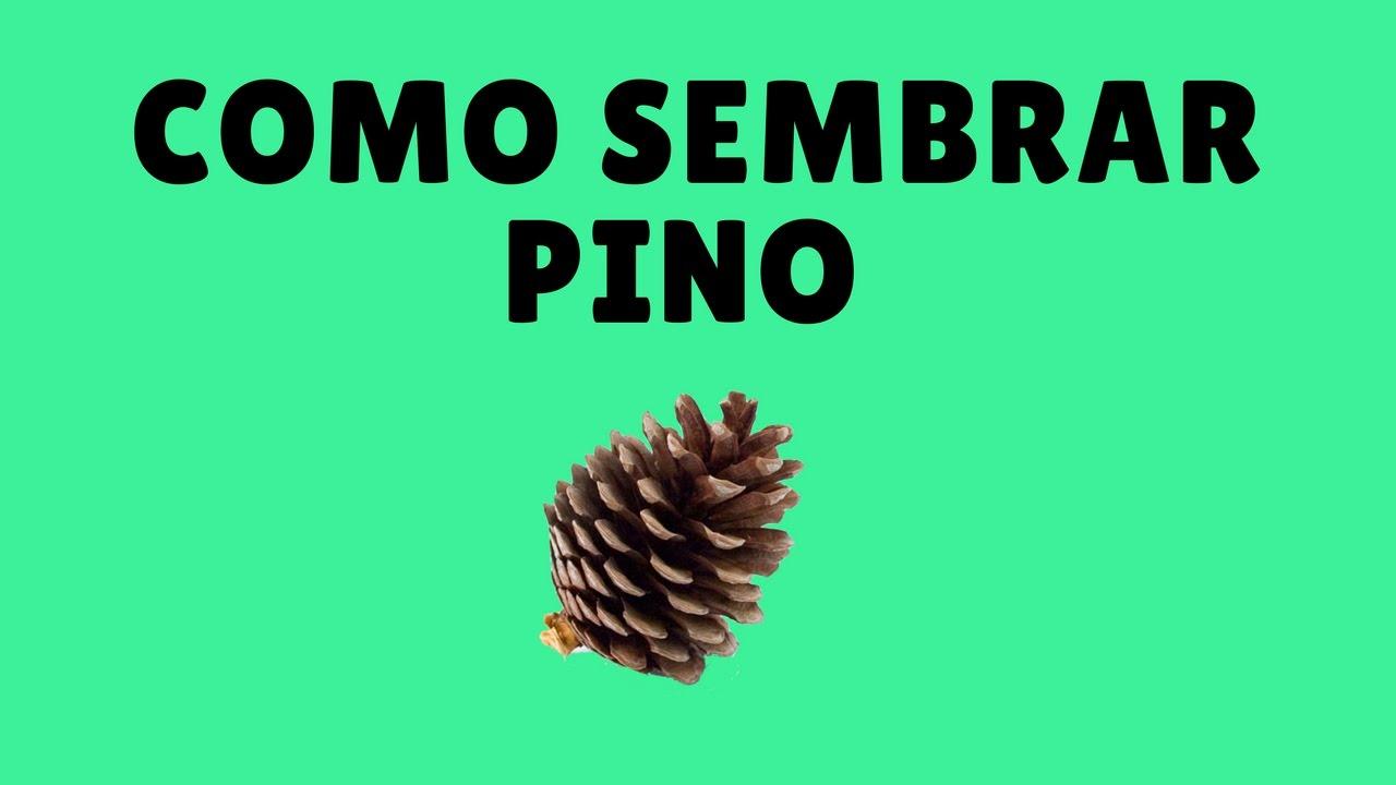 Comprar pinos para plantar affordable finest free for Precio abeto vivero