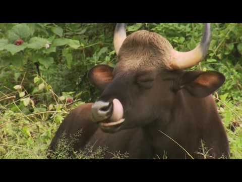 Wild animal - Bison video