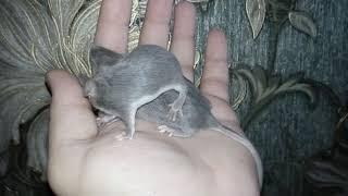 Декоративные мыши окраса Блю фокс.
