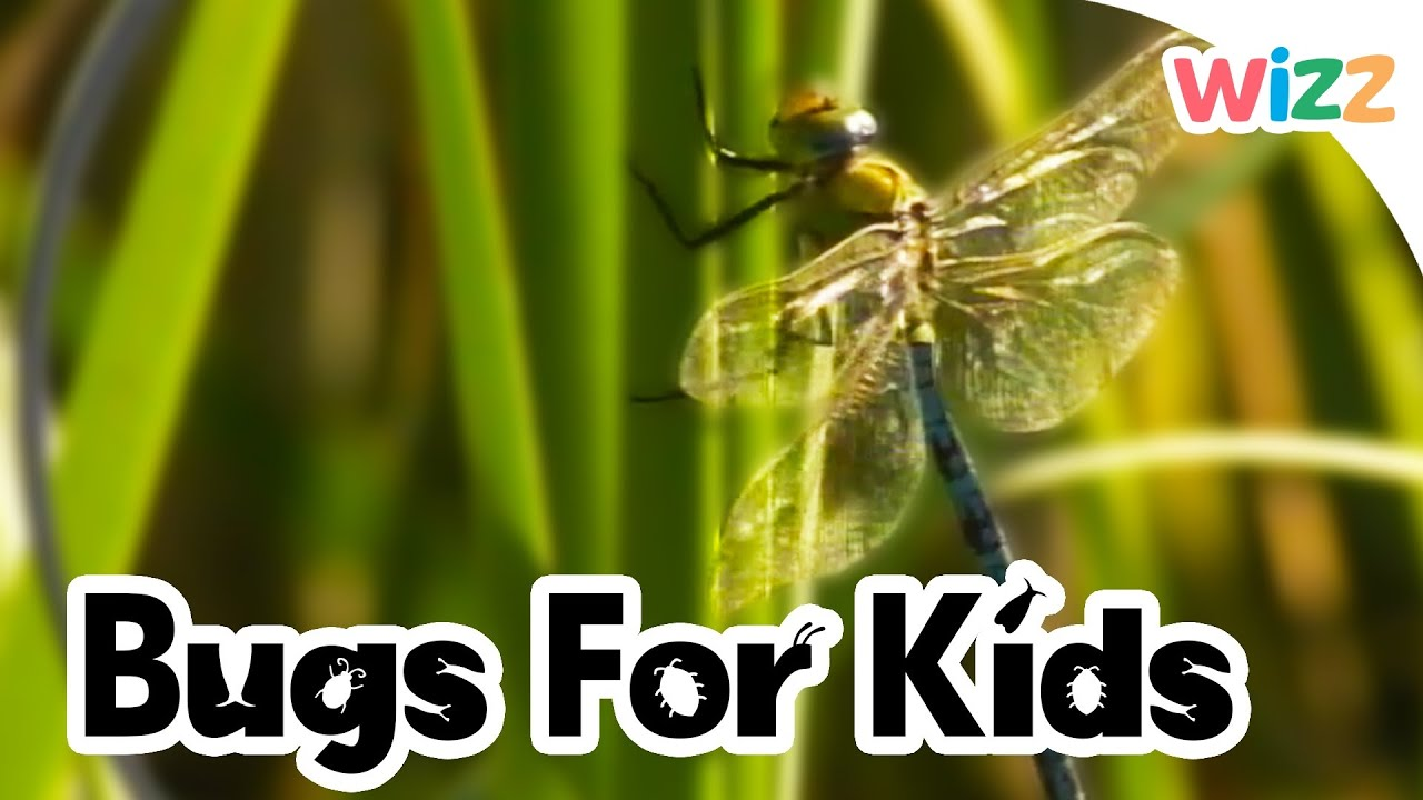 Dragonflies For Kids - YouTube