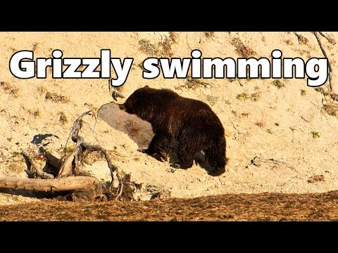 Grizzly Bear swimming across Yellowstone River