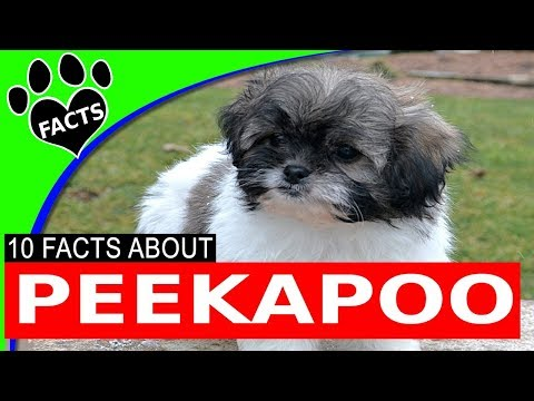 Most Popular Doodle Dog Breeds Peekapoo Pekingese Poodle Mix Designer Dog - Animal Facts