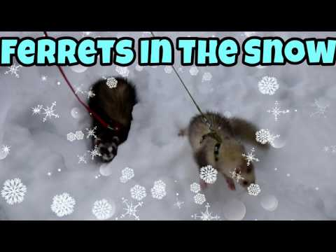 Ferrets In The Snow - Our Other Adorable Pets - VOL. 19