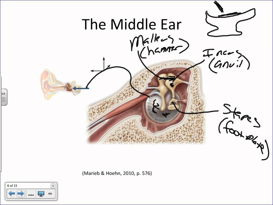Anatomy Of The Ear And Physiology Of Hearing Basicswmv Youtube