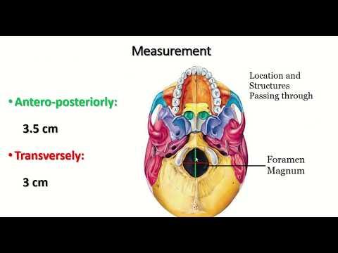Summary of foramen magnum