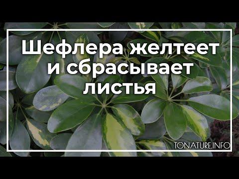Шефлера желтеет и сбрасывает листья | toNature.Info