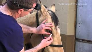 How to Apply Eye Medication to a Horse