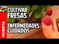 Cultivo de Fresas - Parte 5 - cuidados y enfermedades @cosasdeljardin