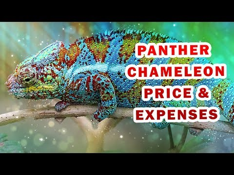 Before You Buy A Panther Chameleon Pet You Should Know This