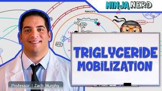 Metabolism | Mobilization of Triglycerides