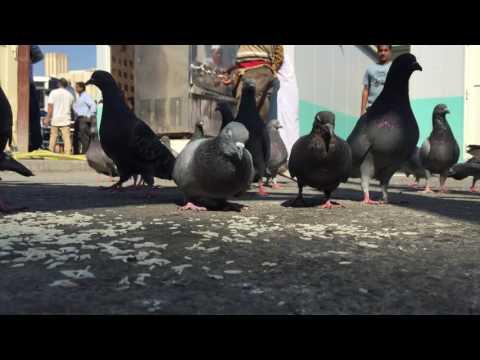 Pigeons at Doha Bus Station