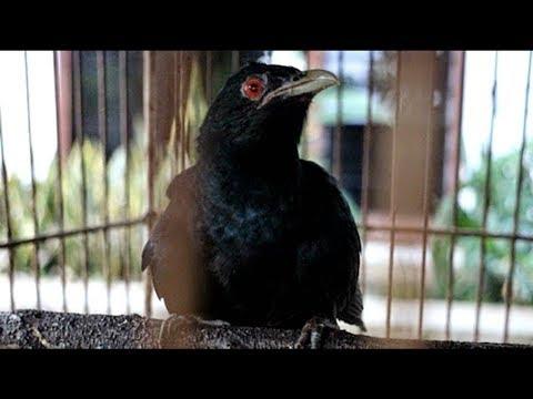 Burung Tuwu Tak Terkontrol Burung Yang Penuh Misteri