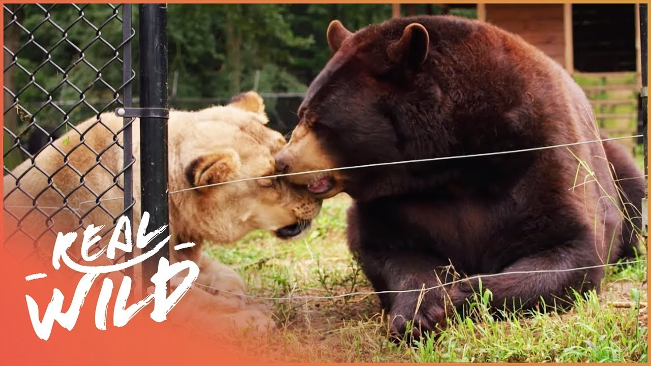Animal Odd Couples Youtube how did a bear, tiger and lion become the best of brothers? | real wild