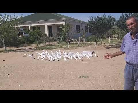 #BAKU #PIGEONS.  Широкохвостые голуби! Питомник Фируза Алиева в Баку!