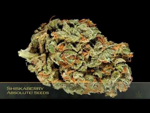 26th Annual HIGH TIMES Cannabis Cup Strain Entries: Seed Company Hybrid