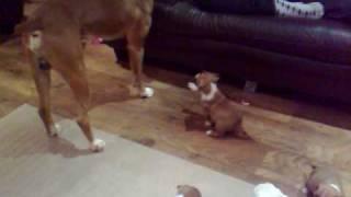 Bulldog X Boxer Pups With Dad