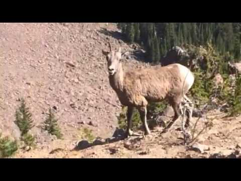 Bighorn sheep in Yellowstone NP