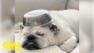 Bulldog loves carrying around metal bowls more than anything on this earth l GMA Digital