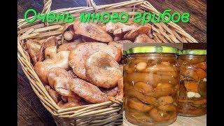 Рецепт соления грибов рыжиков.