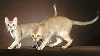 INTERESTING FACTS ABOUT SINGAPURA CAT