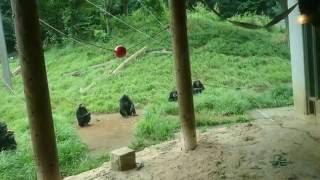 多摩動物園のチンパンジーたち.