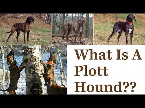 What Is A Plott Hound???