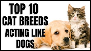Cats 101 : Top 10 Cat Breeds that Act like Dogs