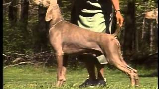 Weimaraner - Akc Dog Breed Series