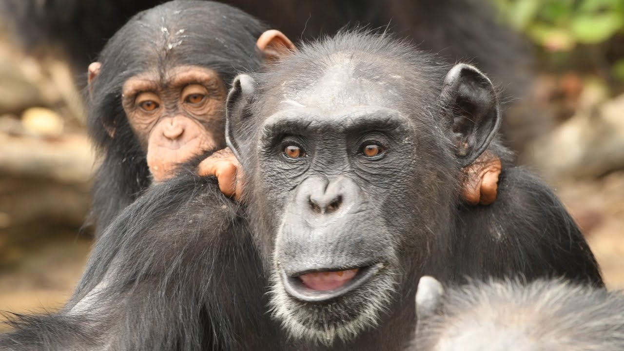 A Better Life for Chimps in Liberia