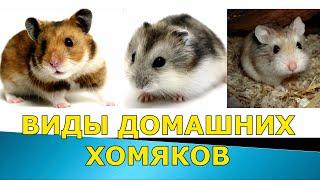 Виды домашних хомяков | ТОП 5 видов хомяков