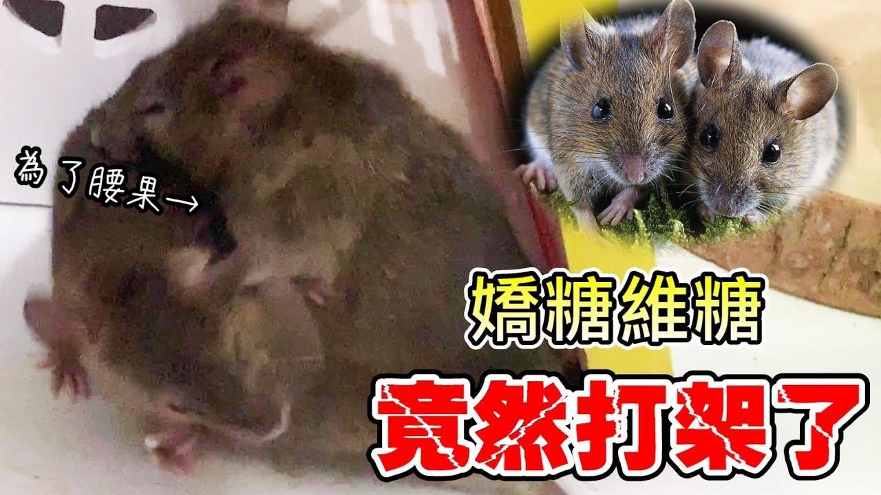 老鼠竟然打架了 原因竟然是?!【維特】【維鼠劇場】 - YouTube