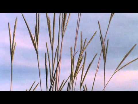 Minnesota Native Plant - Big Bluestem (Andropogon Gerardii)