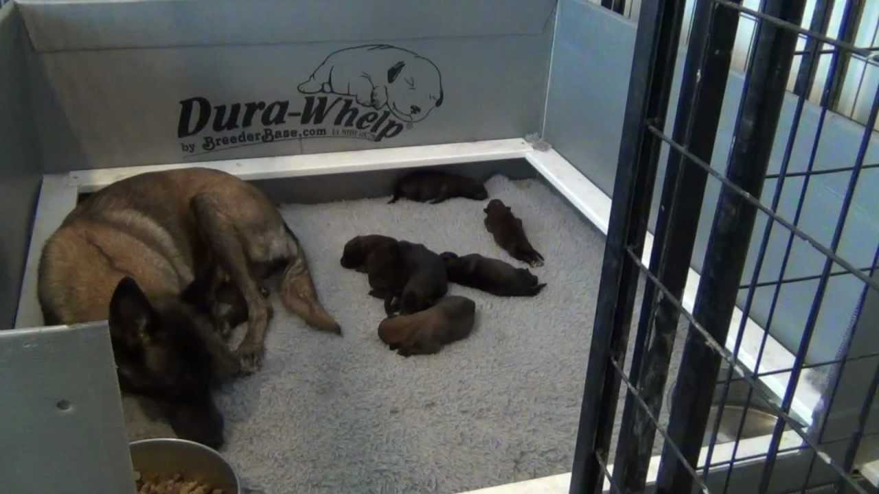Puppies For Sale Puppies Belgian Malinois Puppies For