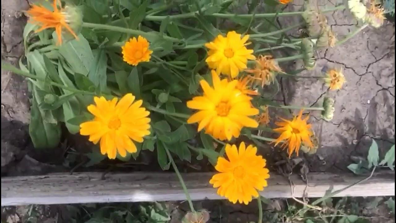 Самый эффективный сидерат, красота с пользой для вашего сада и огорода. Календула - ноготки