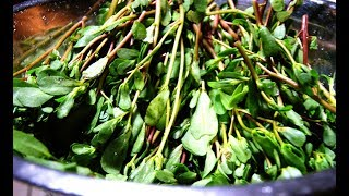 How to grow Purslane or Gangavalli and benefits