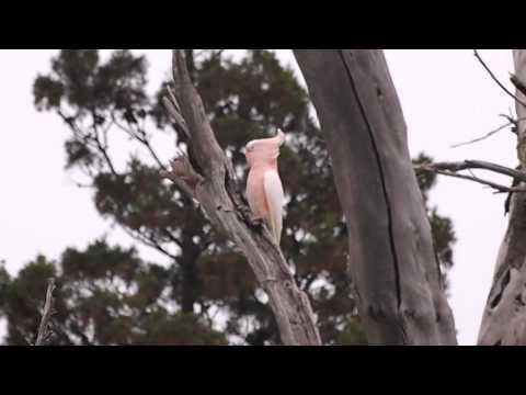 Wild Major Mitchell's Cockatoo