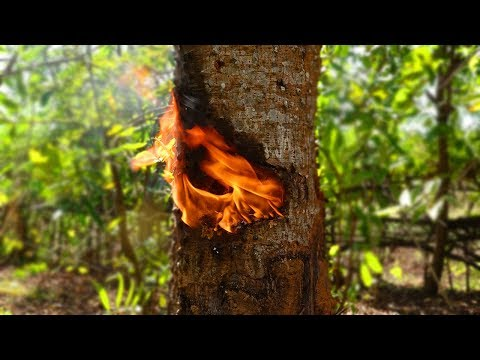 Primitive Culture: Traditional Candle Making from Tree Resin