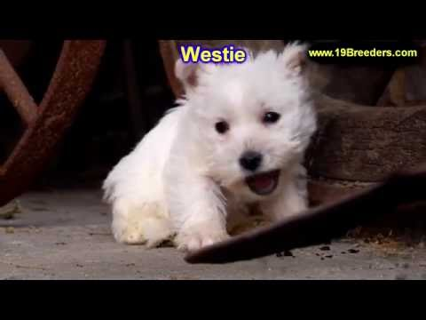 West Highland White Terrier, Westie, Puppies, Dogs, For Sale, In Montgomery, Alabama, AL, 19Breeders